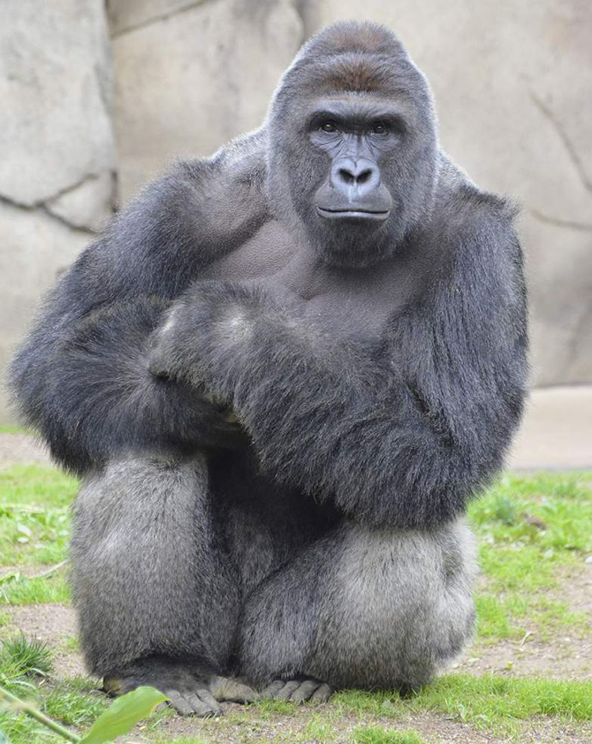 Did the Cincinnati Zoo officials have the moral right to kill Harambe the gorilla?